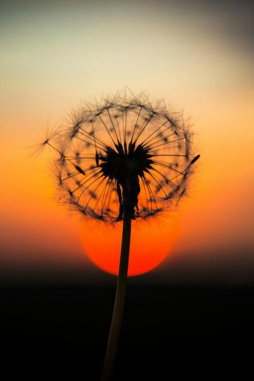 nature sunset grass dandelion - photo #19