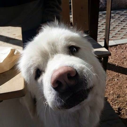 Bumble, the Great Pyrenees with Down's Syndrome