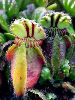 Cephalotus spp