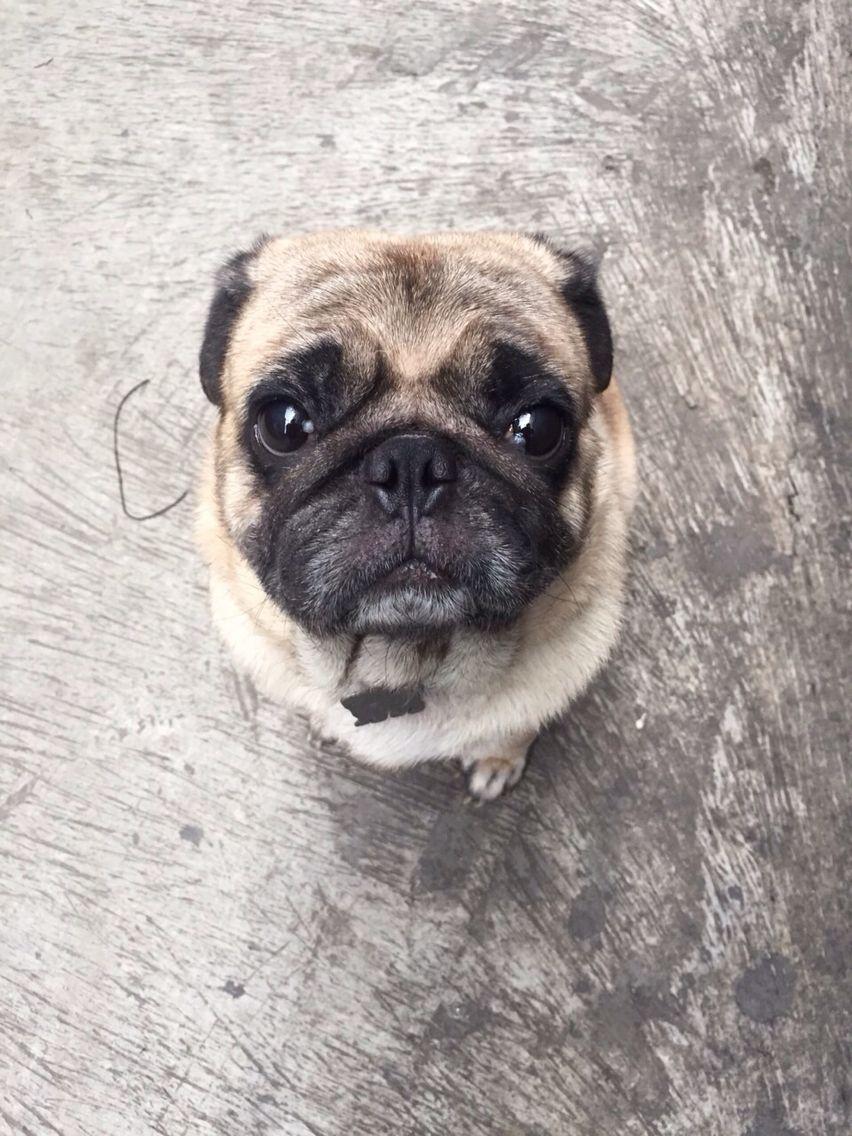 My Baby Is Getting Older Cute Pugs Pug Love Cute Animals