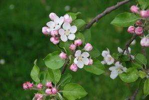 Crabapple Tree Identification Hunker Crabapple Tree Apple Tree Flowers Flowering Crabapple