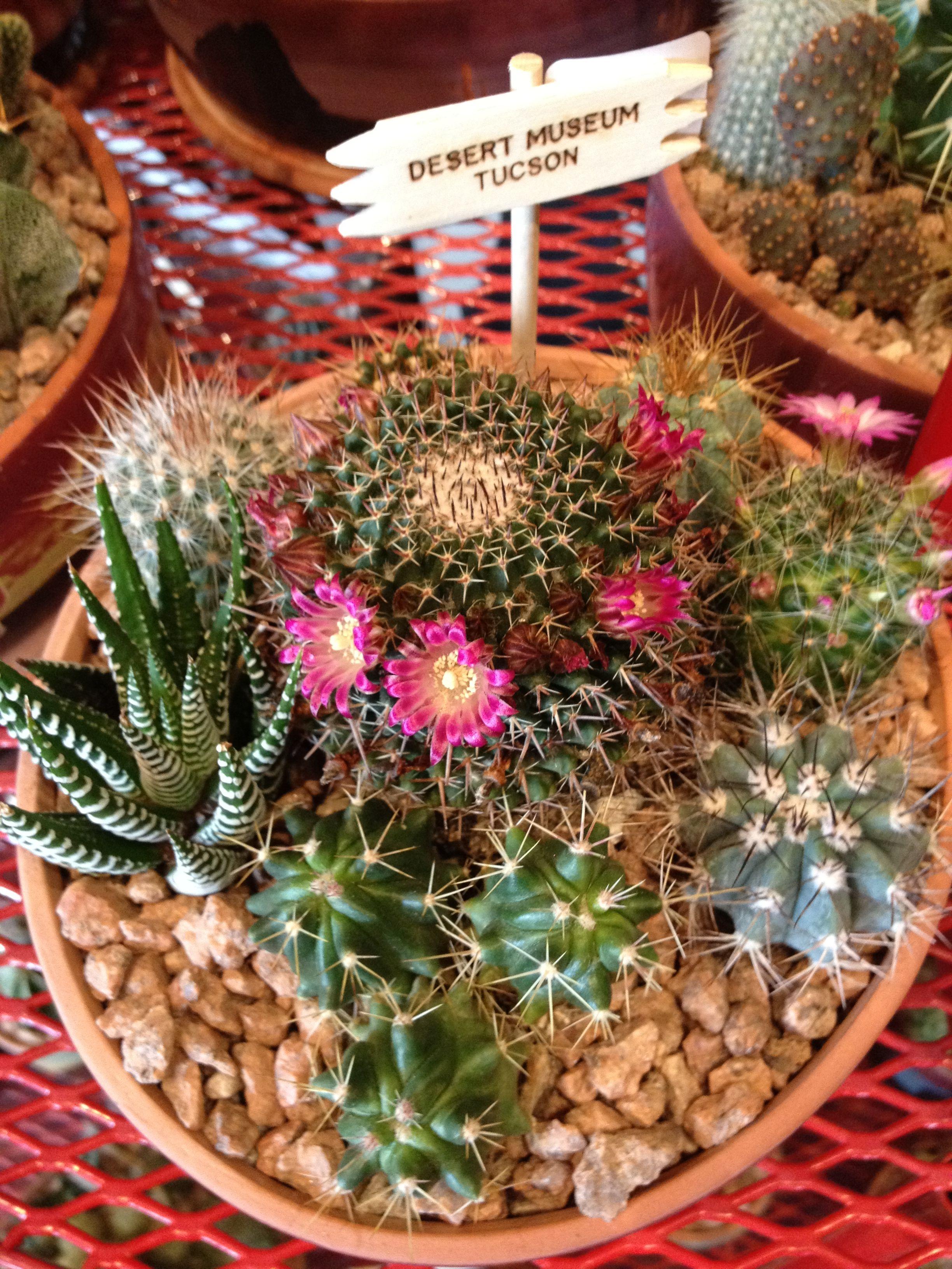 Cactus Garden For Sale. Tucson Museum.
