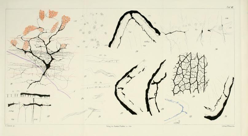 Untersuchungen über den feineren Bau der Cestoden / - Biodiversity Heritage Library