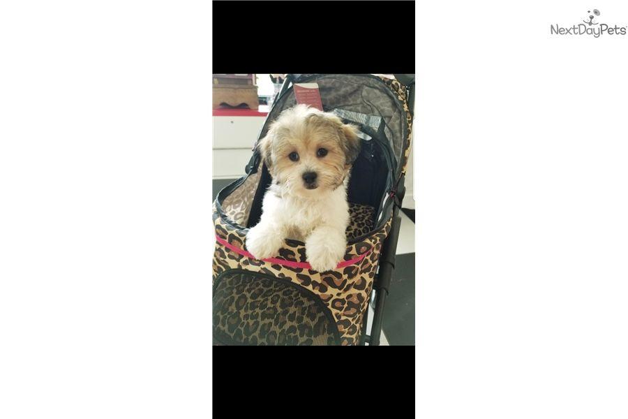 Carmel Shichon Puppy For Sale Near South Florida Florida