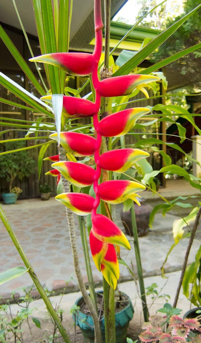 Philippine shrubs, plants and flowers our gallery