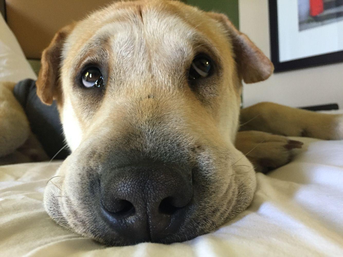 Thought bubble Labrador retriever, Thought bubbles, Labrador