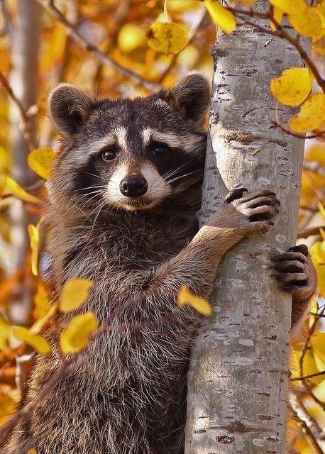 50 Beautiful Wild Animals Cute Raccoon Cute Animals Animals