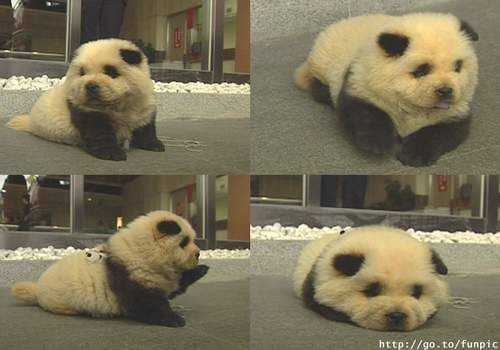 it's a puppy that looks like a panda.. what more could you want??