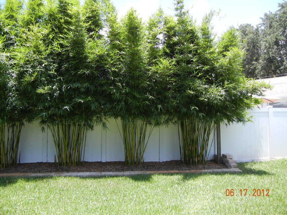 Island bamboo garden pinellas park fl united states for Privacy greenery