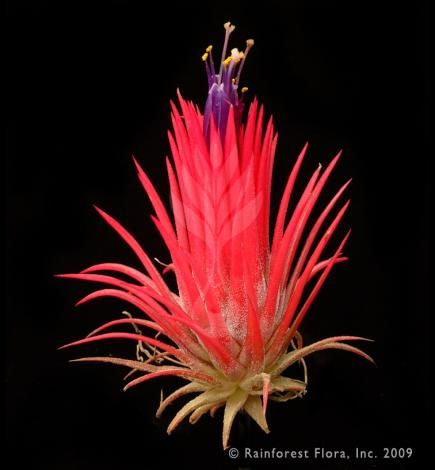 Tillandsia Ionantha Fuego From Rainforest Flora From The Wall