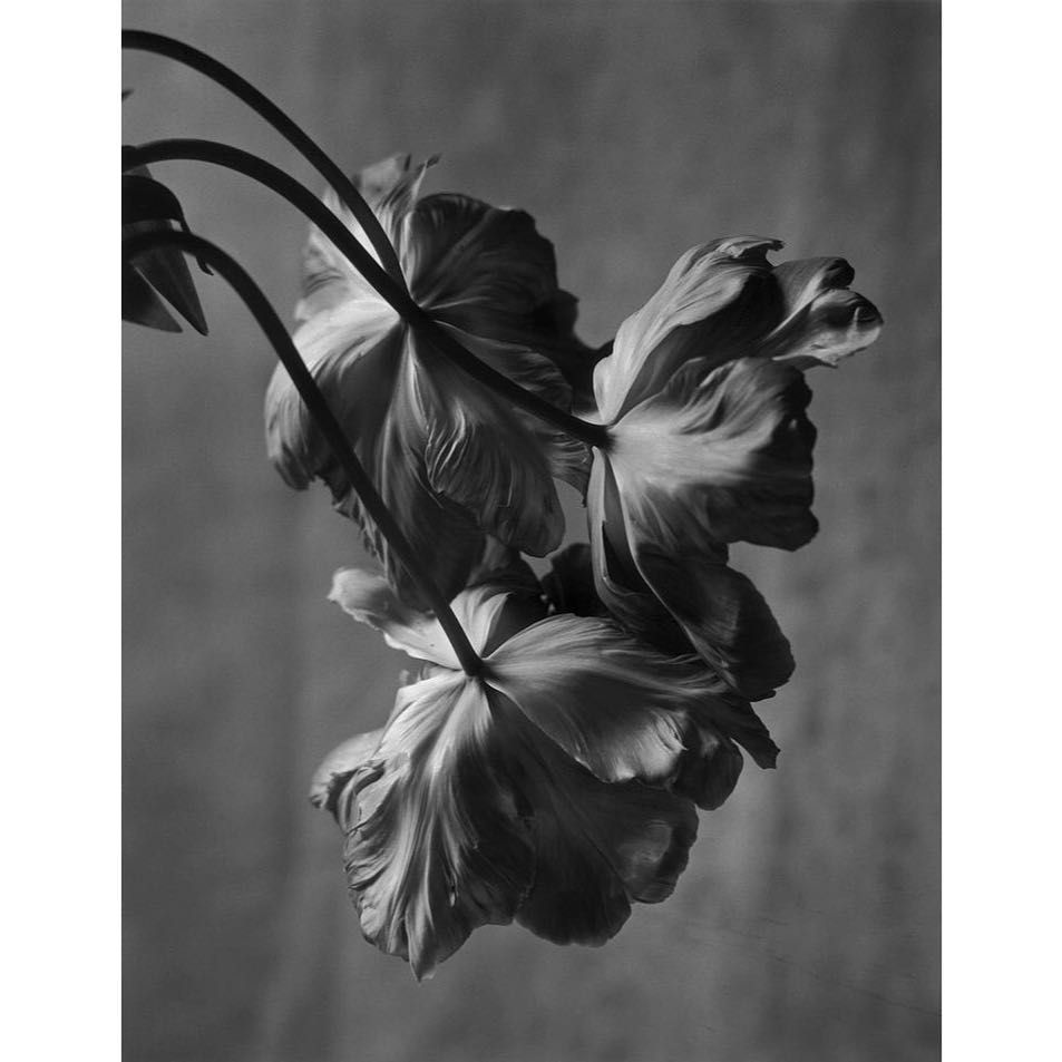 Permanent collection on instagram tulips by the swiss photographer christiancoigny b 1946