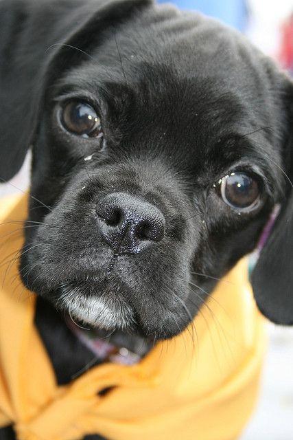 Cocker Pug Just Like Frank Cocker Spaniel Mix Cute Animals