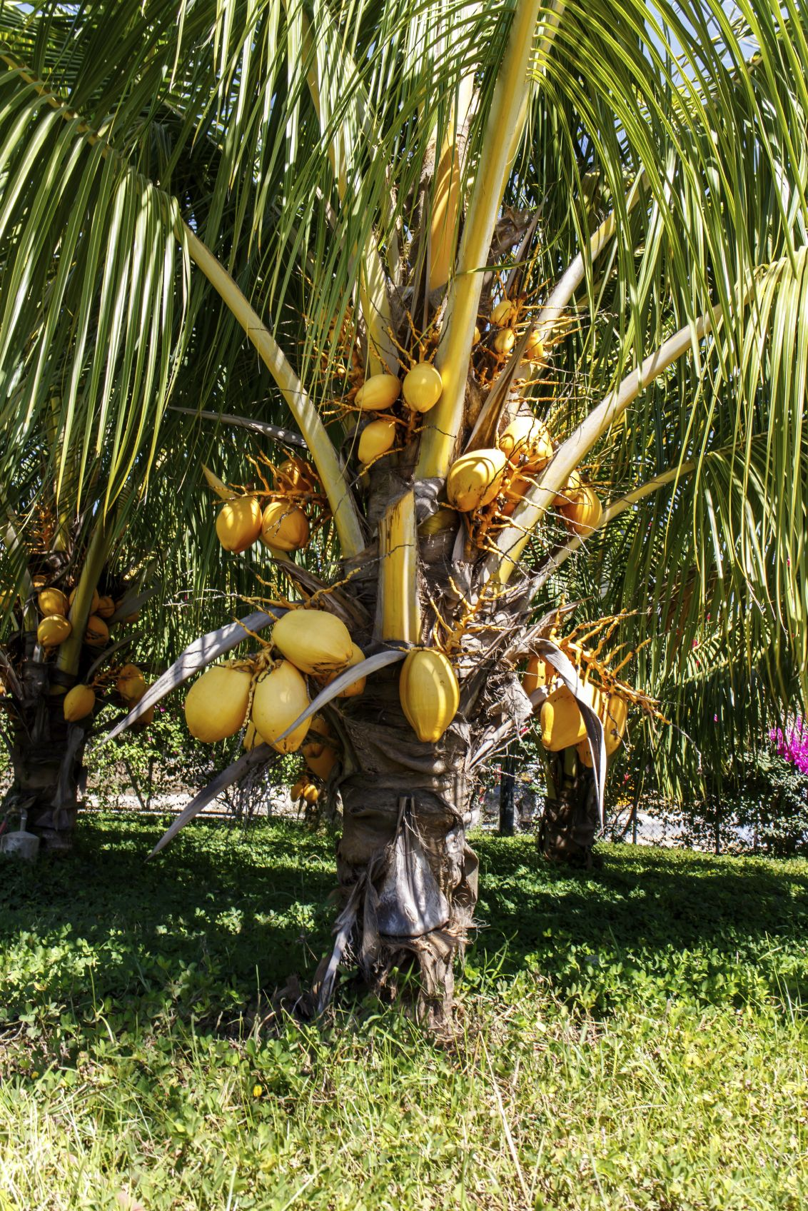 Fertilizing coconut palm trees how and when to fertilize