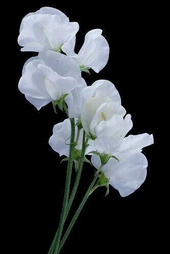 White sweet pea flower sweet pea pinterest flowers white white sweet pea mightylinksfo