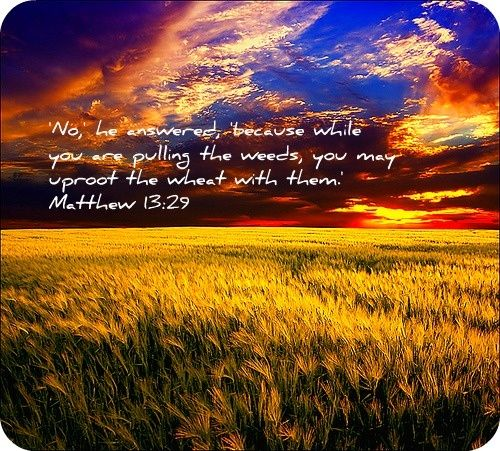 bibical story of wheat and tares | Matthew 13:24-30 Parable of the Wheat and Tares