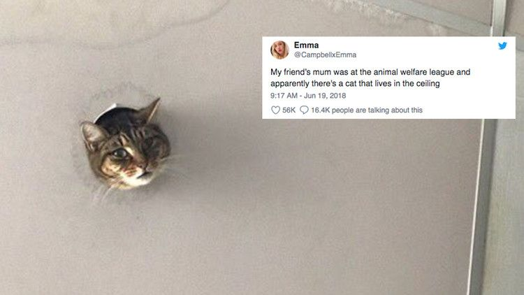 Cat Pokes Head Through Hole In The Ceiling Achieves Instant Fame