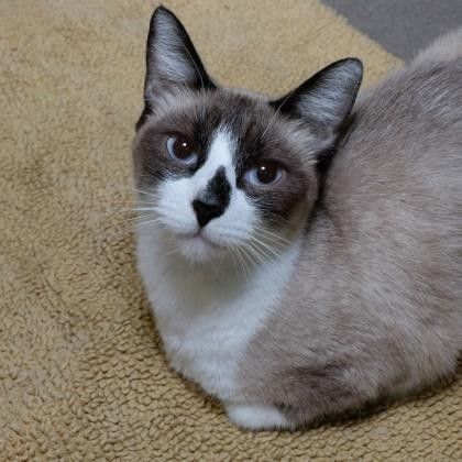 Cats Adoption Chibi Pets