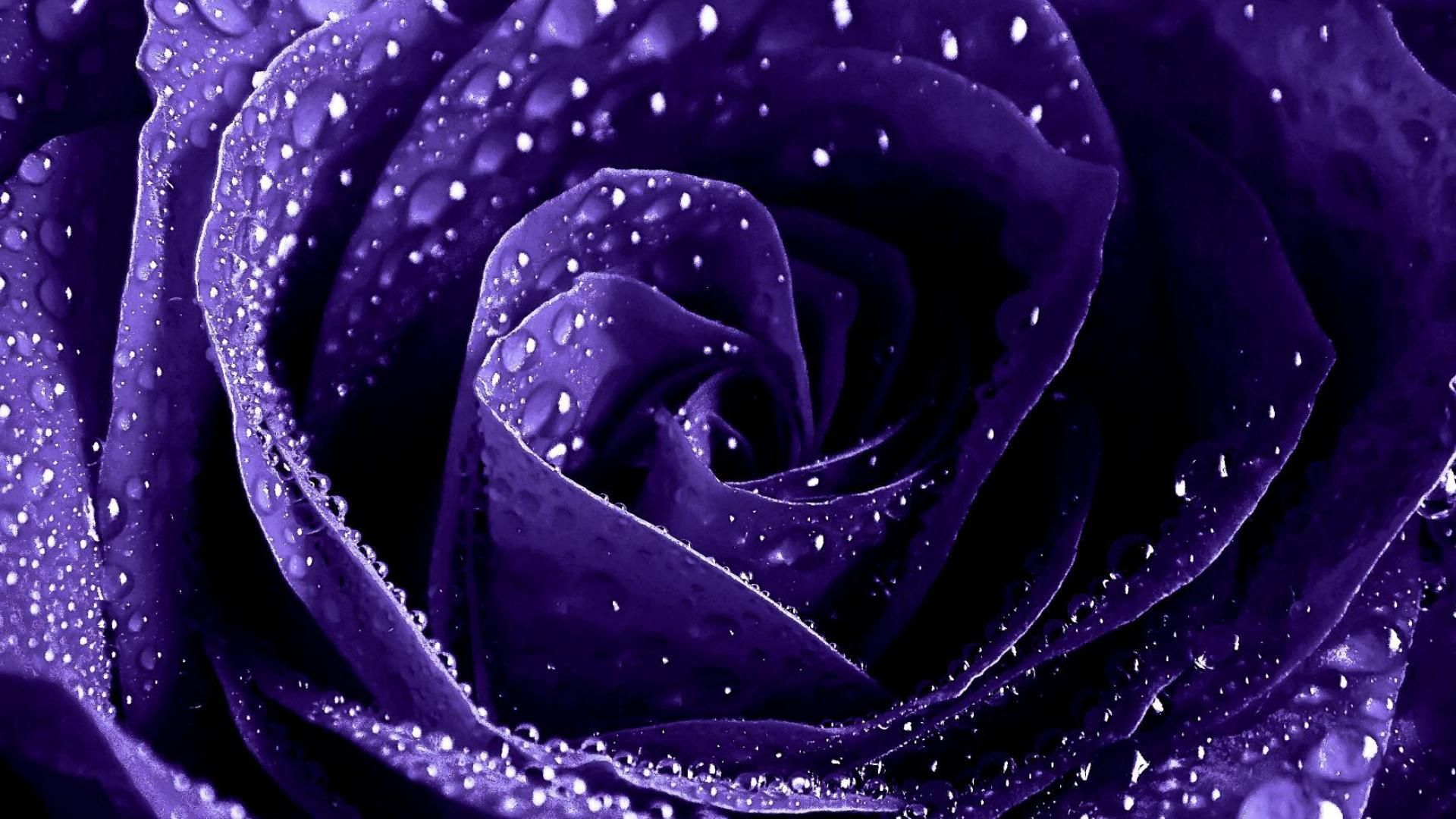 Wet purple rose close up wallpapers and images ...