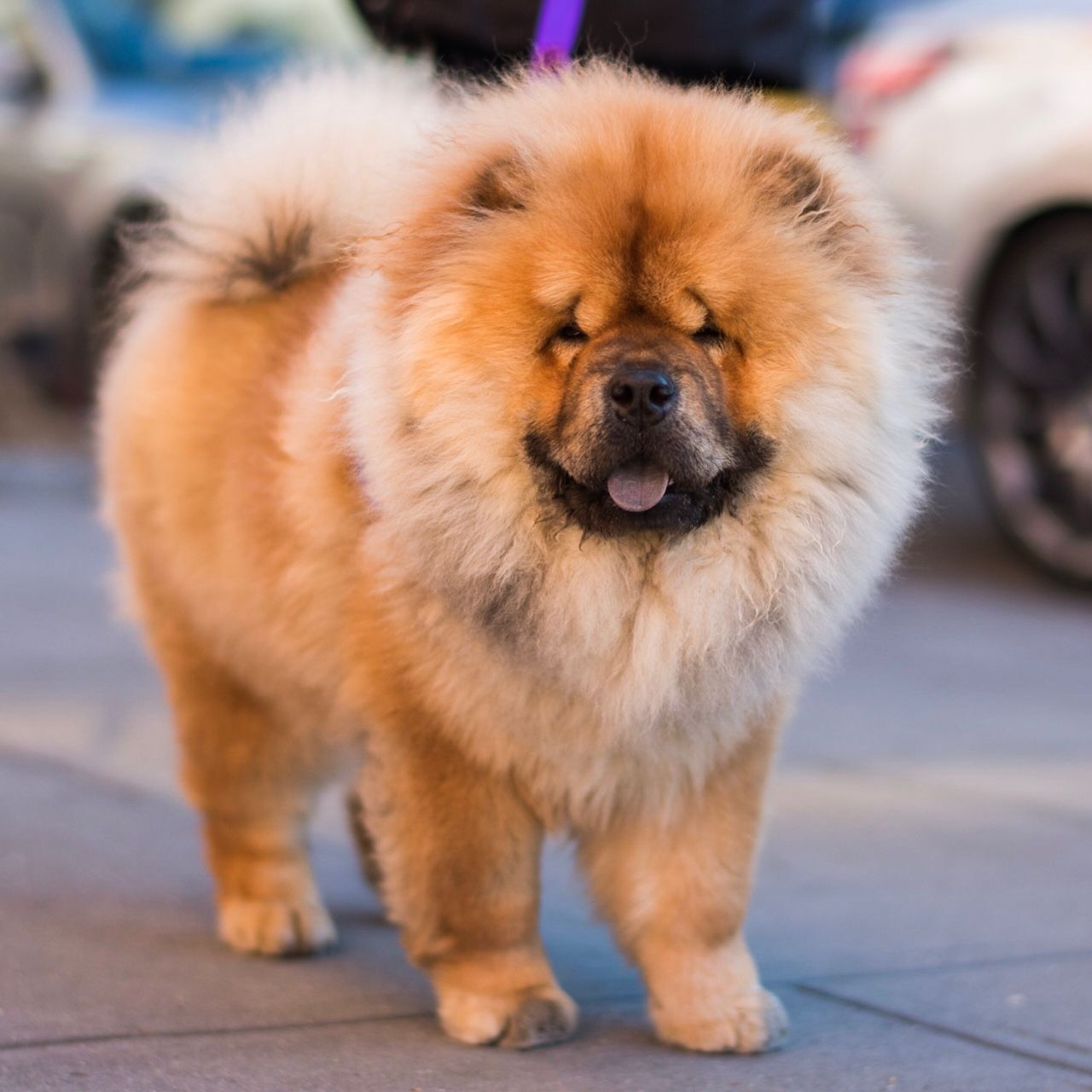 The Dogist Dogs Dogs Puppies Chow Chow Dogs