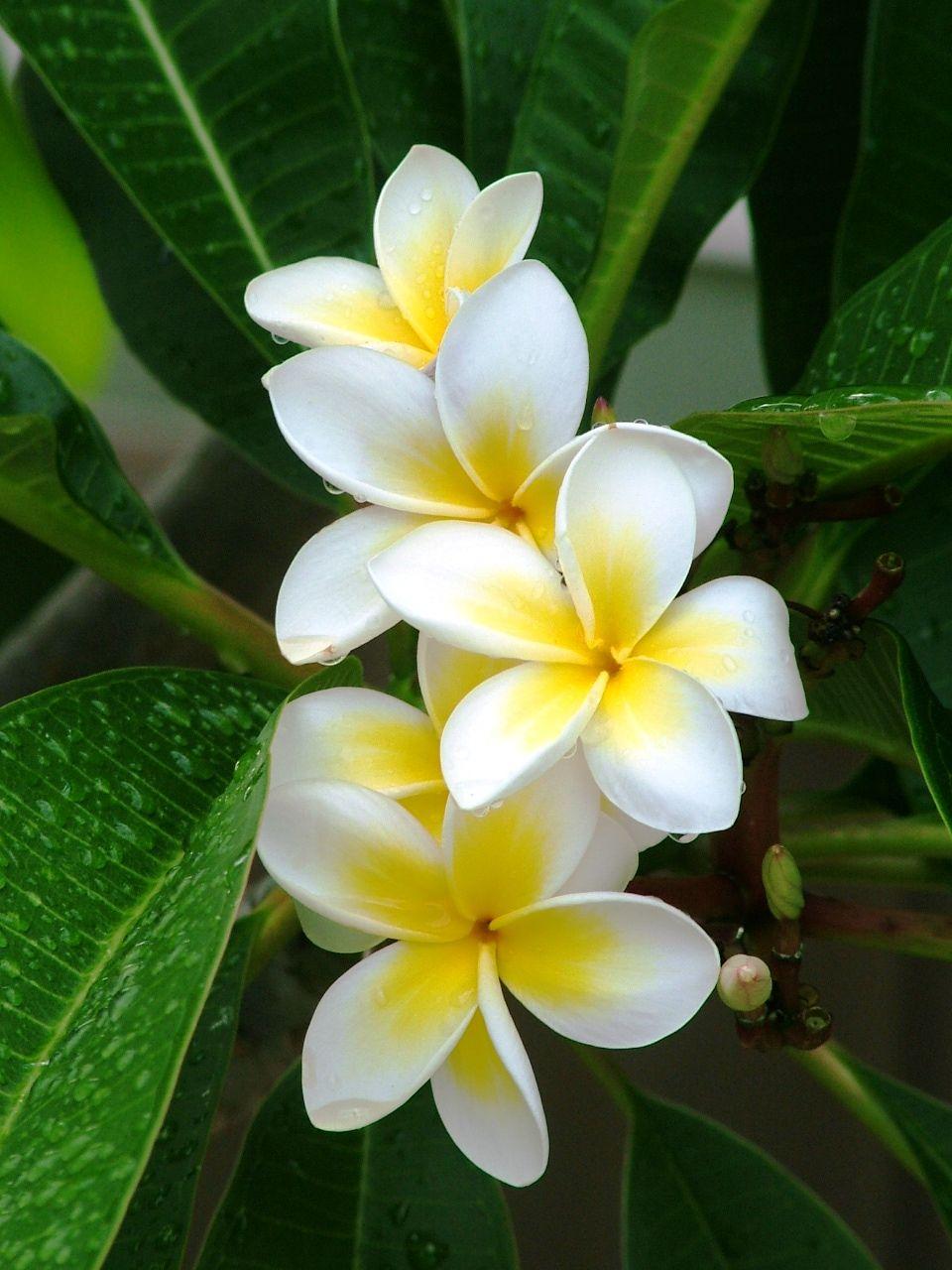 Frangipani Plumeria Flowers Hawaiin Flowers Flowers Nature