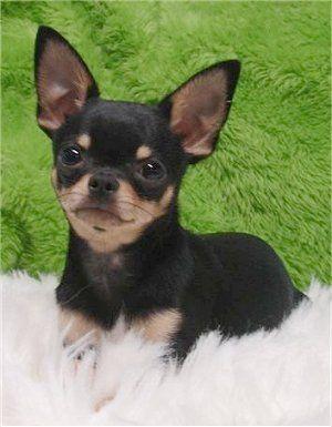 Vians Big Mac Attack Nicknamed Mac A Full Grown Male Chihuahua