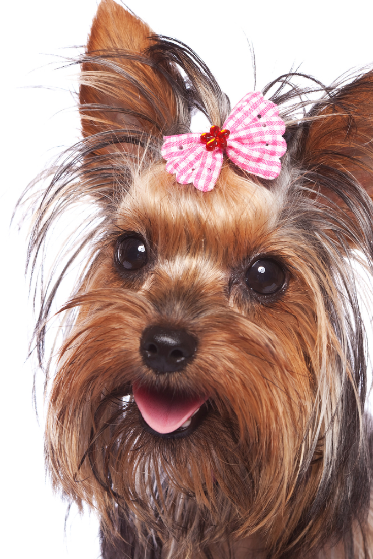 Baby Face Yorkshire Terrier Puppy Dog With Head Hair Tied In A Pink Bow Panting On A White B Yorkshire Terrier Puppies Yorkshire Terrier Yorkshire Terrier Dog