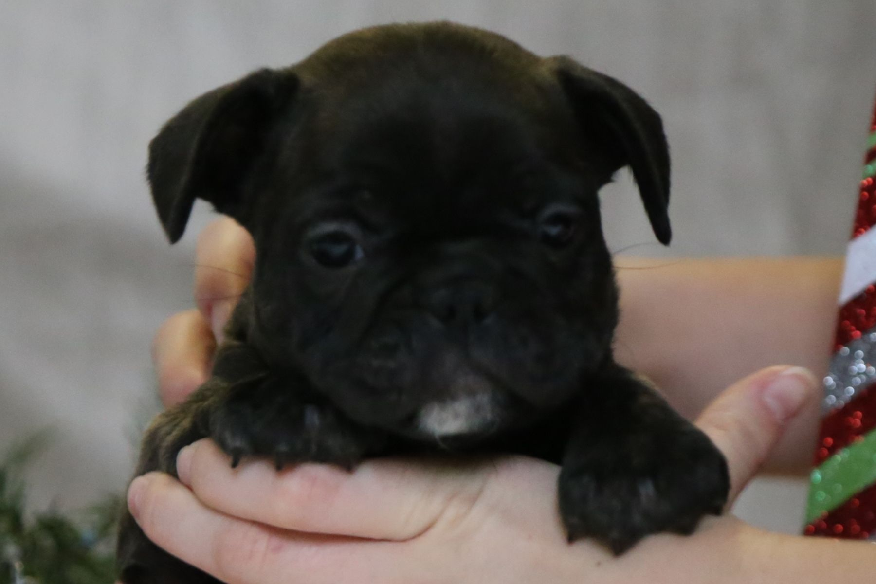 Casper Male French Bulldog Puppy from Ewing, Illinois