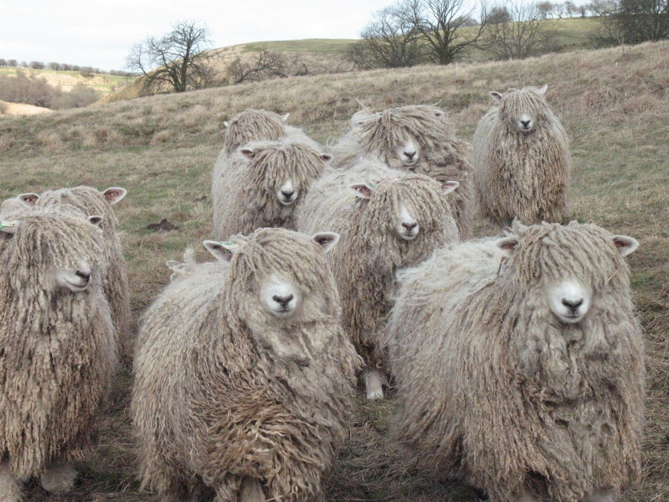 Risby Grange Longwools Flock Of Rare Breed Lincoln