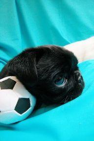 Blue Eyes Baby S Got Blue Eyes Pugs Black Pug Puppies Pug Love