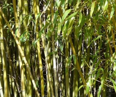 How To Get Rid Of Bamboo Growing In My Yard