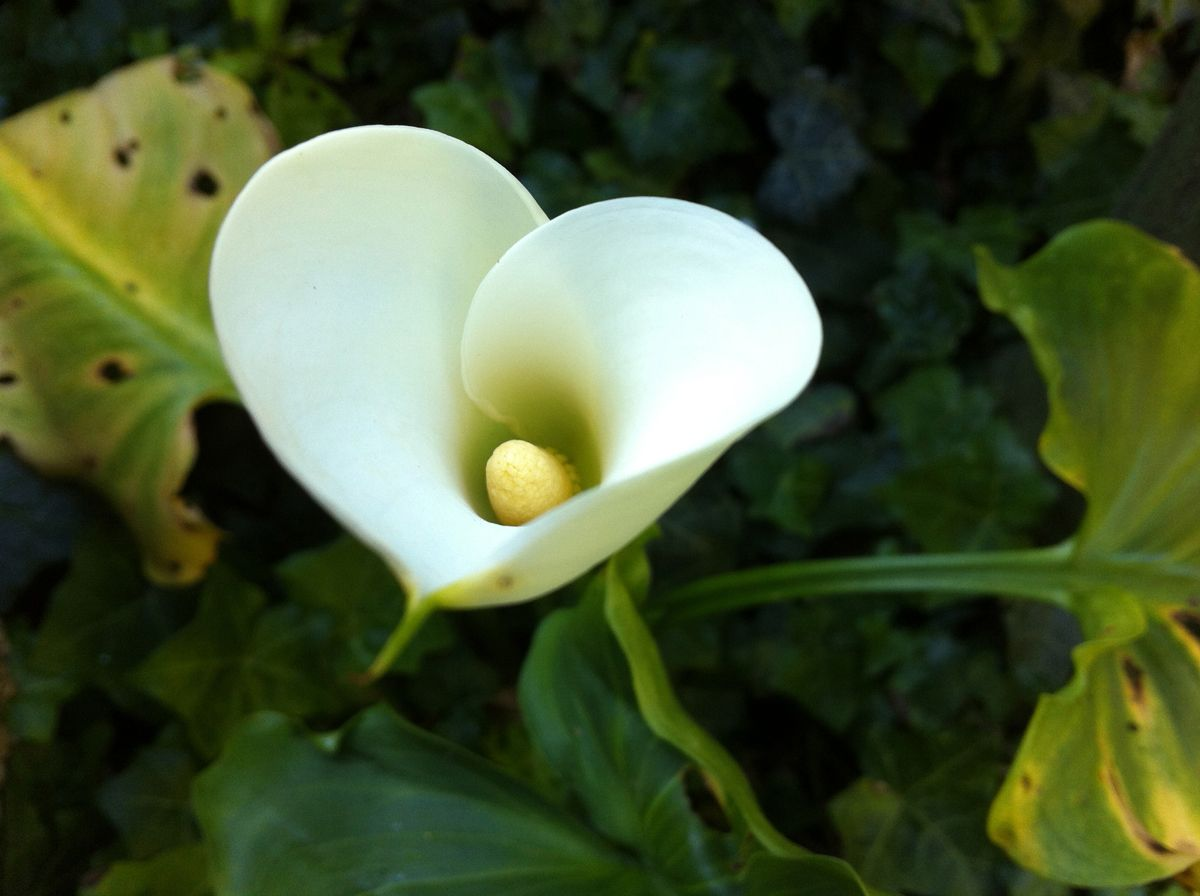 It looks like a white heart flowers pinterest flower it looks like a white heart calla lily flower izmirmasajfo