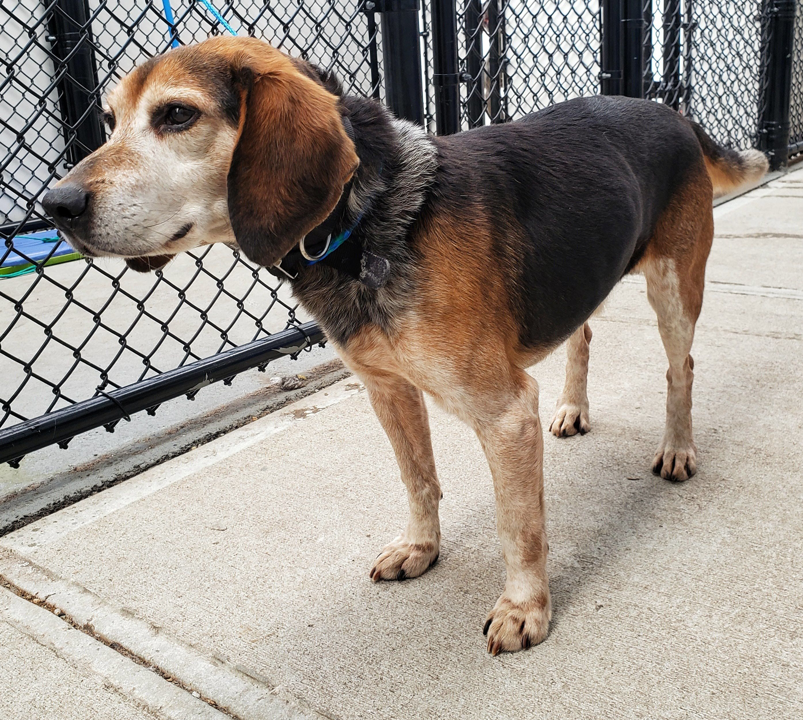 19 27 Is An Adoptable Beagle Searching For A Forever Family Near