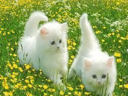 Adorable Fluffy Kittens Playing In A Field Of Butter Cups Pretty Cats Kittens Cutest Kittens