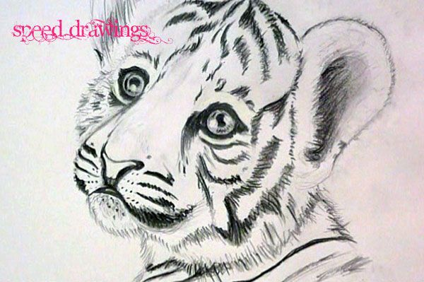 how to draw a baby tiger