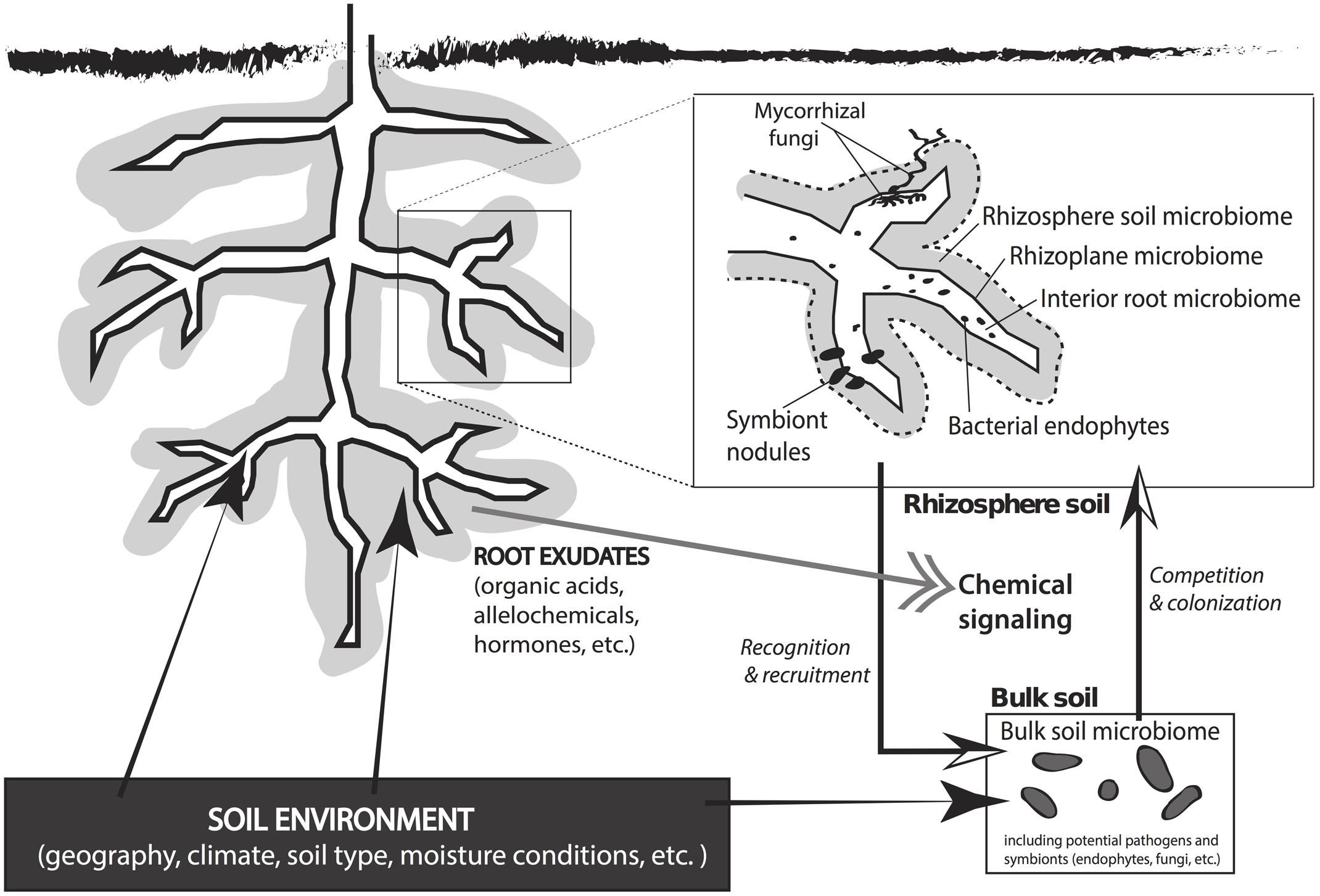 Rhizosphere Colonization