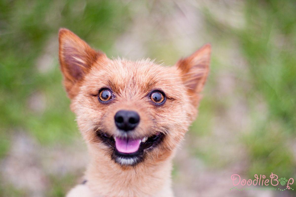 Pomeranian Mix With Terrier Dogs Pomeranian Mix Terrier Mix