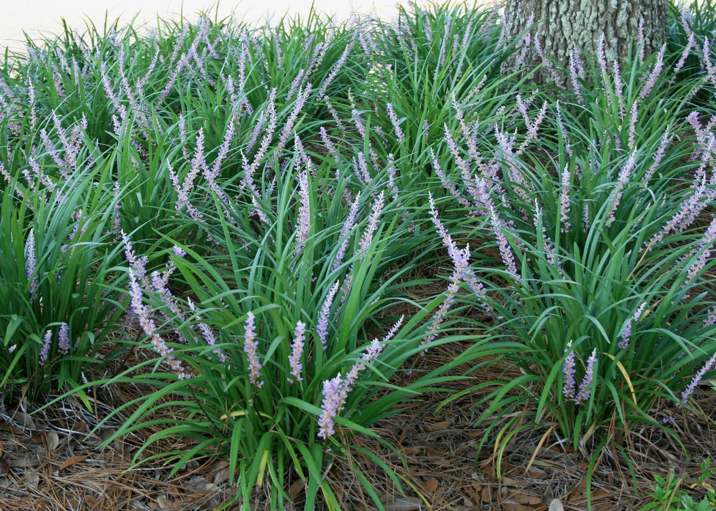 how to grow liriope spicata