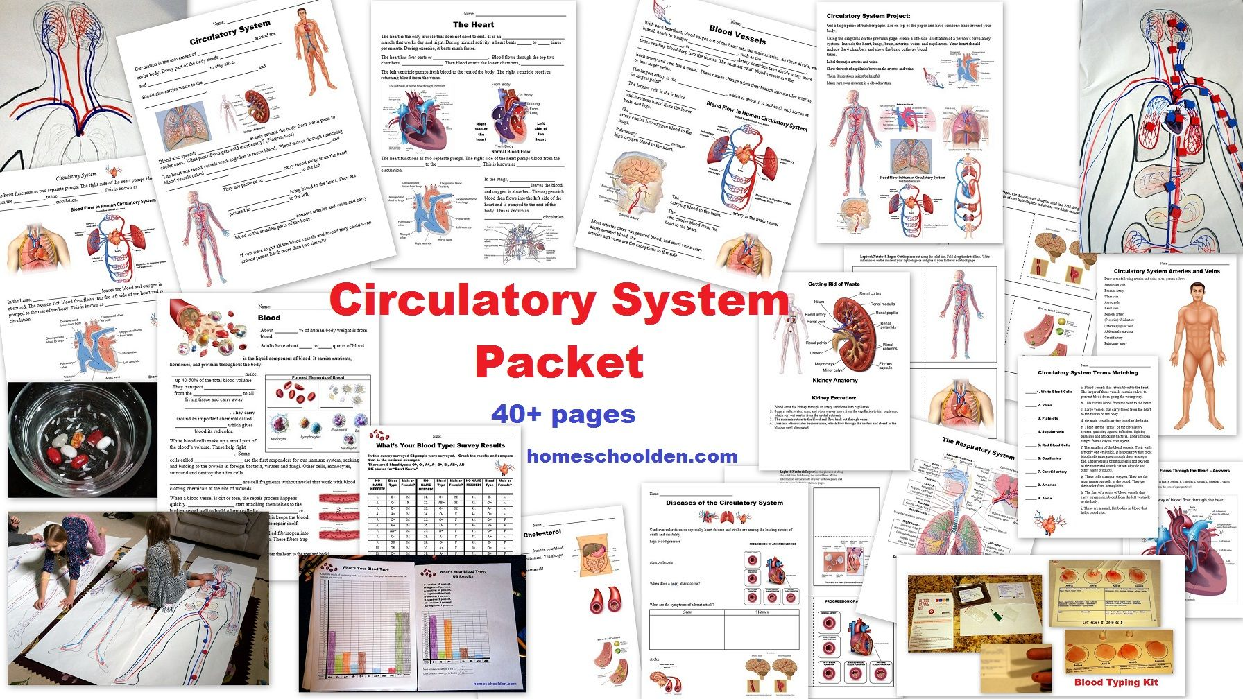 Circulatory System Packet Worksheets And Hands On