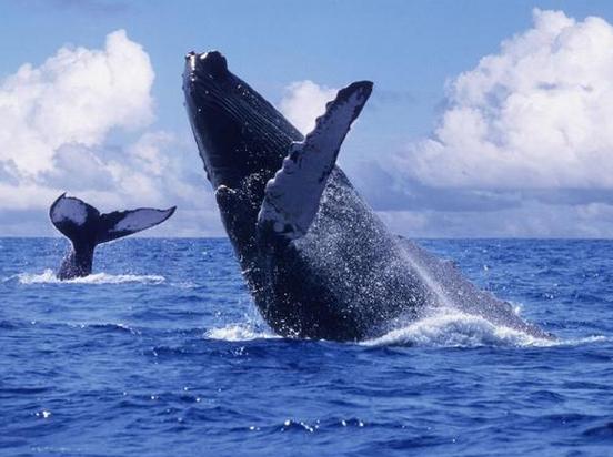 @PETA_Latino Comenzó 1 de los mayores espectáculos en el #MarDeCortés la llegada de miles de ballenas grises. #BCS