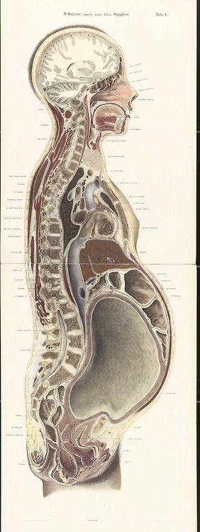 El embarazo según Atlas anatómico de Wilhelm Braune (1867-1872 ...