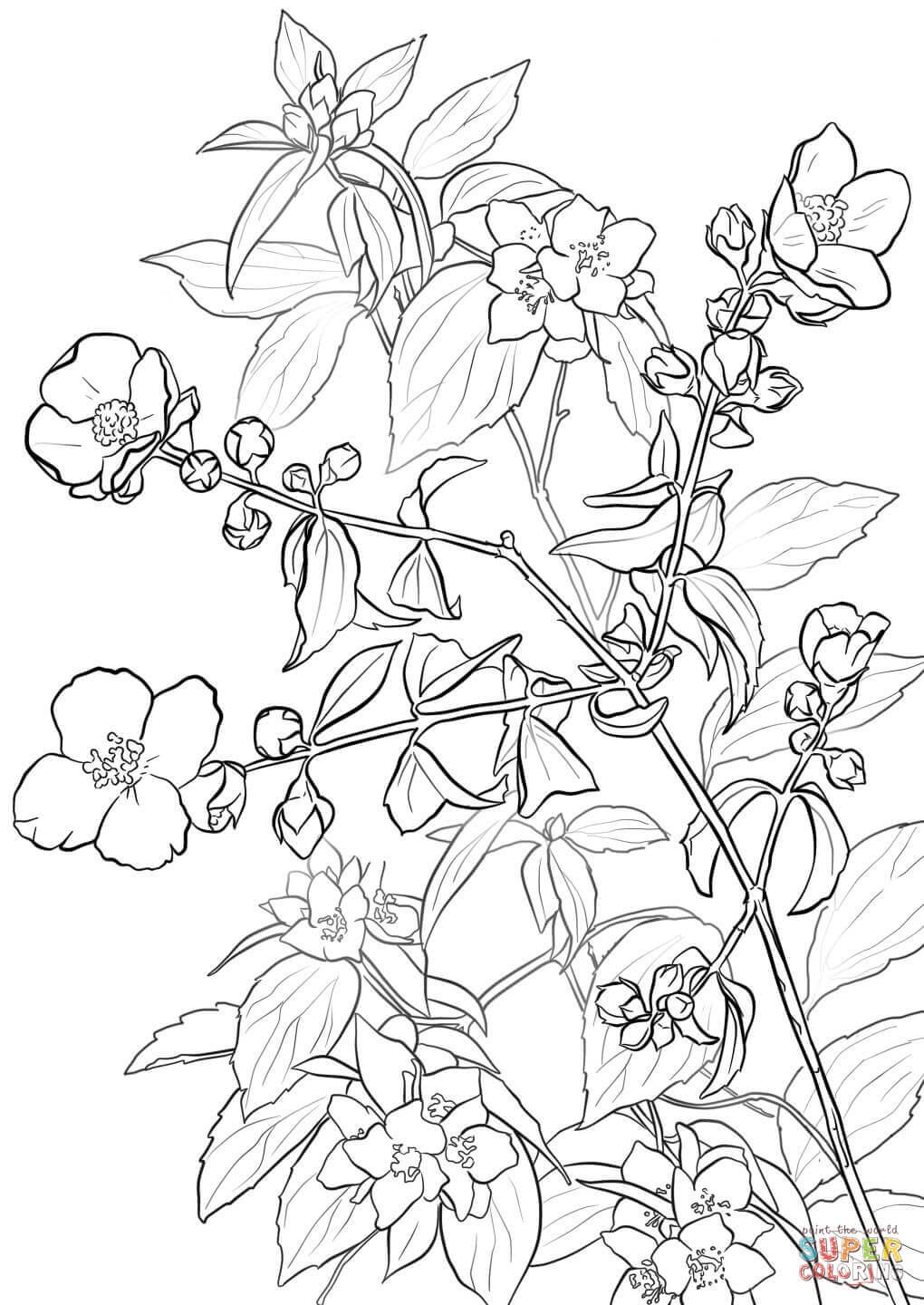 Lewis Mock Orange Or Syringa Super Coloring Flower Drawing