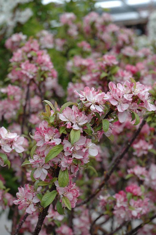 Pin By Rachael Wilhelmi Petri On Flowers Shrubs Trees Flowering Trees Dwarf Trees Plants