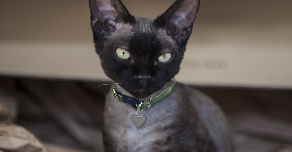 What Are The Types Of Black Cat Breeds In 2020 Black Cat Breeds Cat Breeds Cats And Kittens