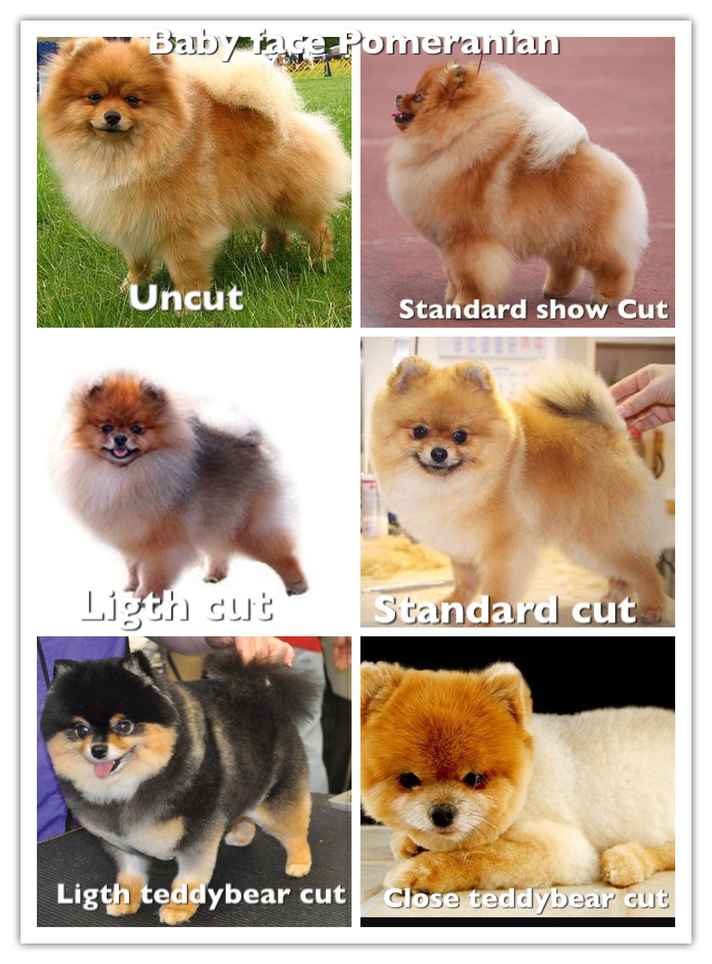 Dad dog  Pomeranian puppy, Pomeranian dog, Cute pomeranian