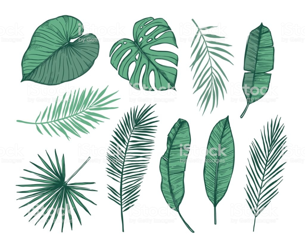 Hand Drawn Vector Illustration Palm Leaves Monstera Areca Palm Fan Palm Banana Leaves T Leaves Sketch Leaf Illustration Hand Drawn Vector Illustrations
