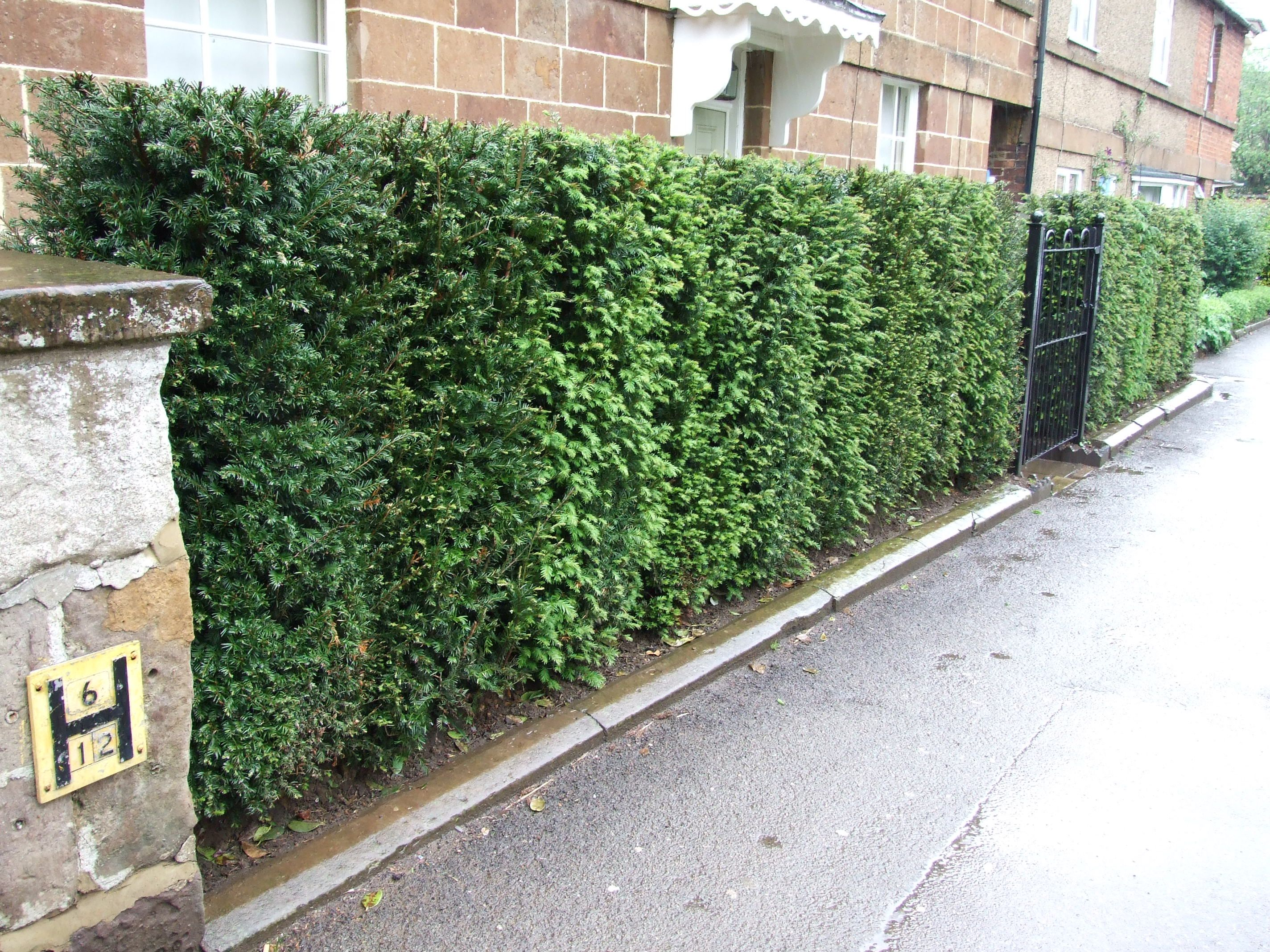 We are the uks leading instant hedging design and for Garden yew trees