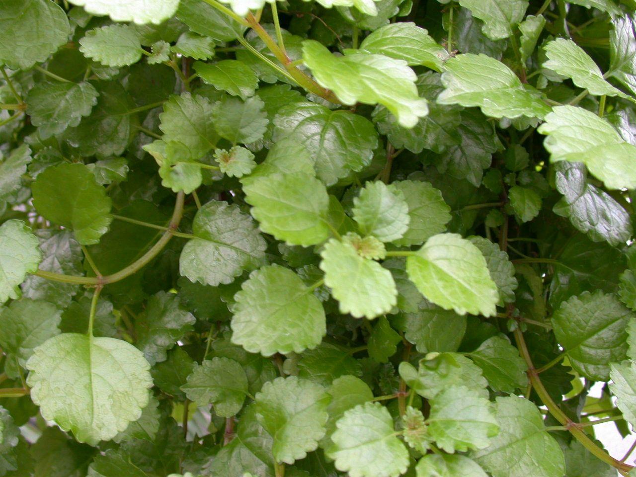 Swedish Ivy Plectranthus Australis Ivy Plants House Plant Care Plants