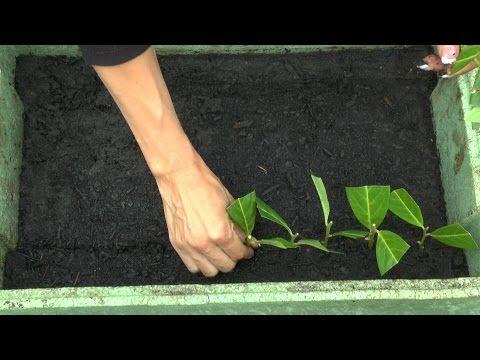 stecklinge vom kirschlorbeer ganz garten vermehren cutting planting growing harvesting. Black Bedroom Furniture Sets. Home Design Ideas