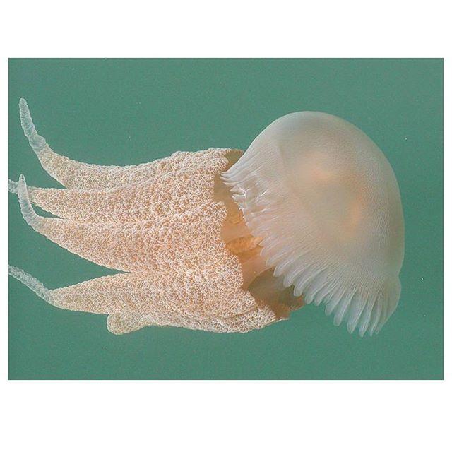 Free Floating Jellyfish Ocean Freefloating Awareness Inspiration