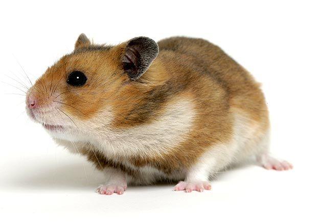 All About Syrian Teddy Bear Hamster Syrian Hamster Bear Hamster Hamster